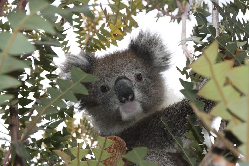 Australia. Koala