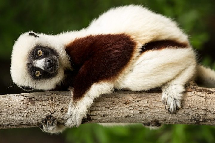lemur-1794519_960_720