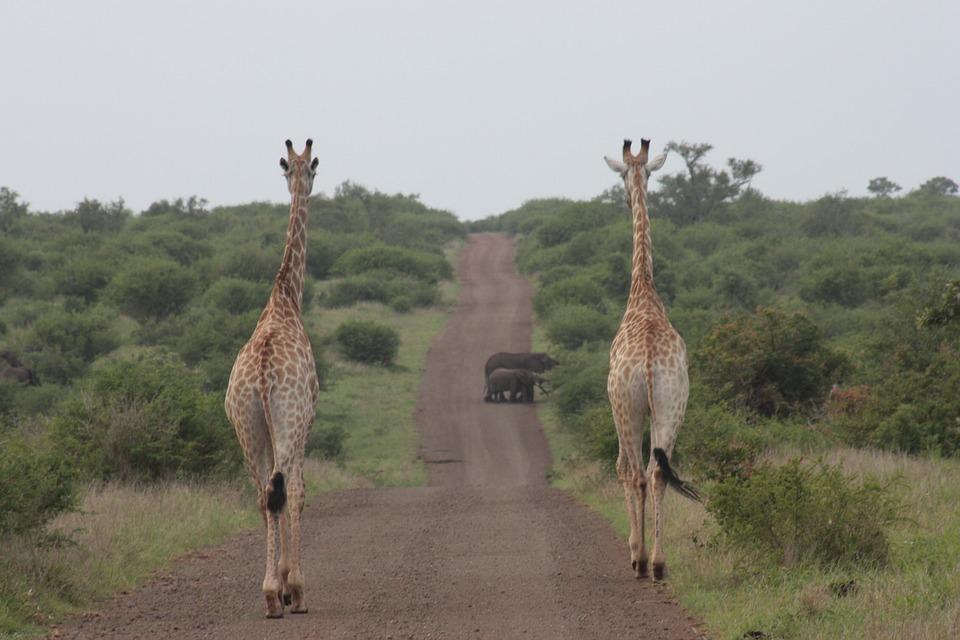 giraffe-2403639_960_720