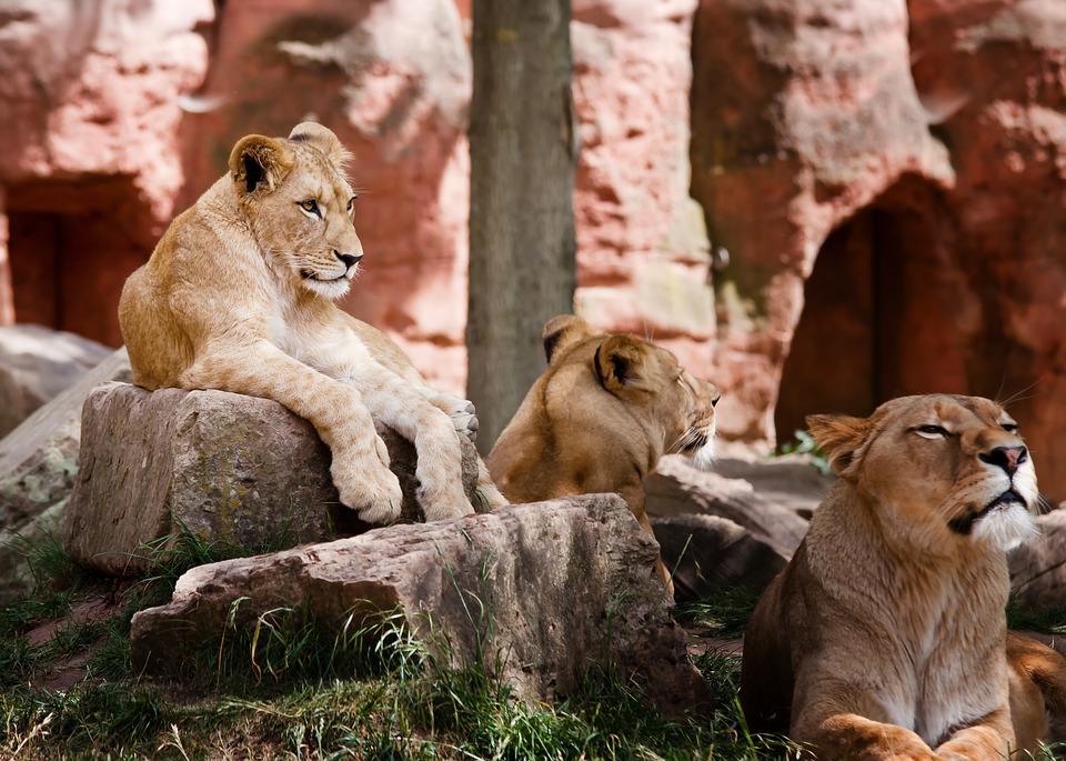 Kenia. lion-4366887_960_720